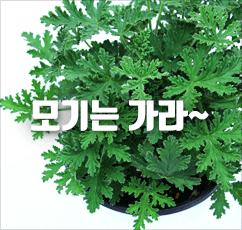 [슈퍼특가]모기쫓는 허브 구문초★1+1